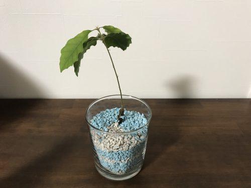 カラーゼオライトに植えたドングリ